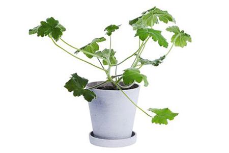 Hay Pot Plant thumbnail